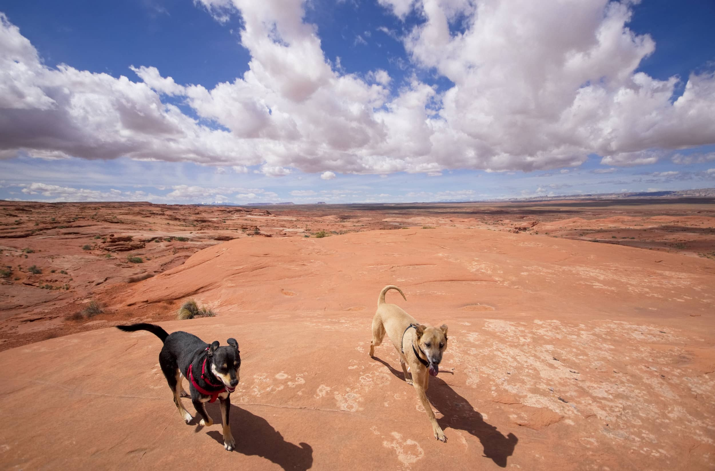 Two large dogs enjoying a day in the desert