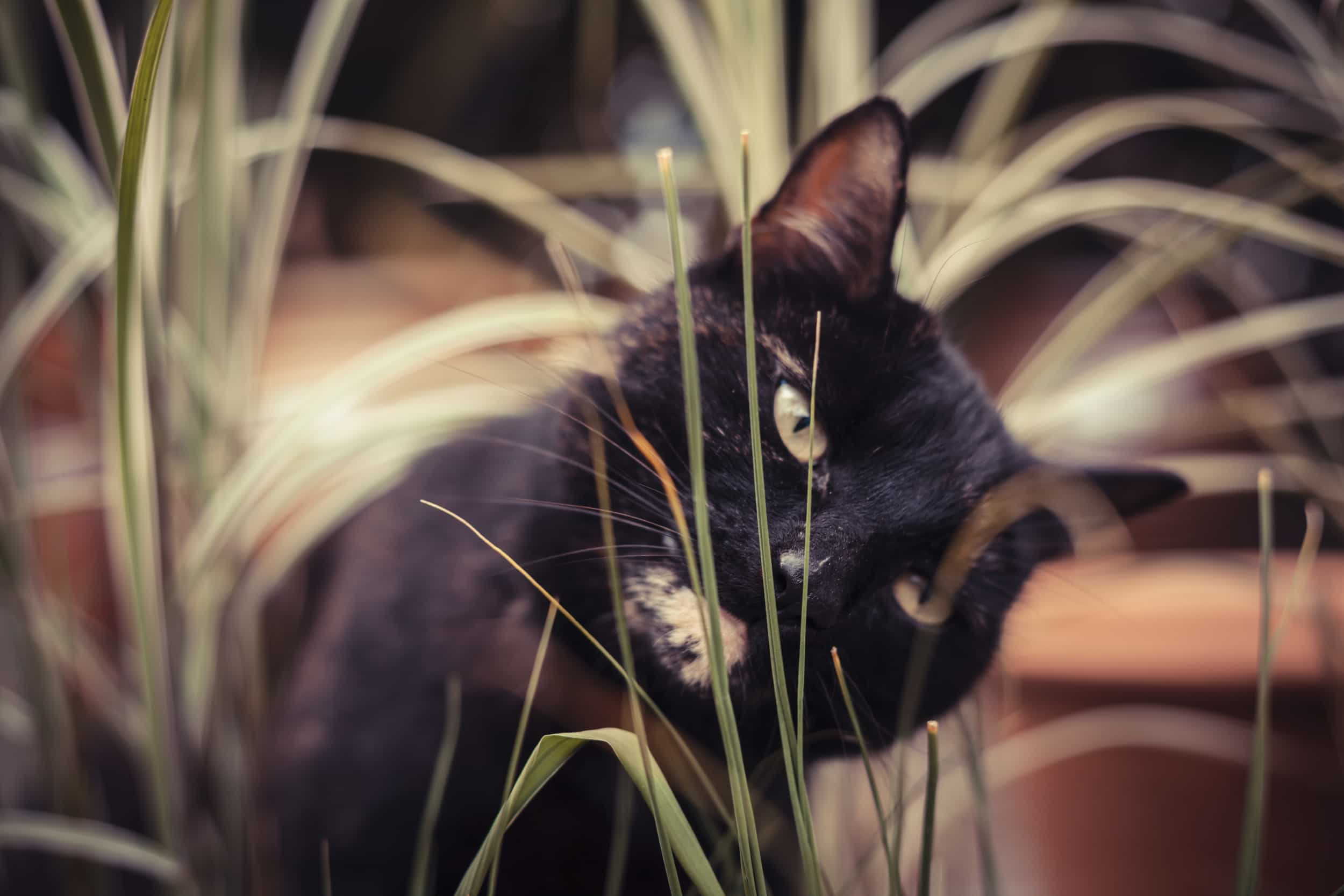 A black tabby cat is eating the house plants