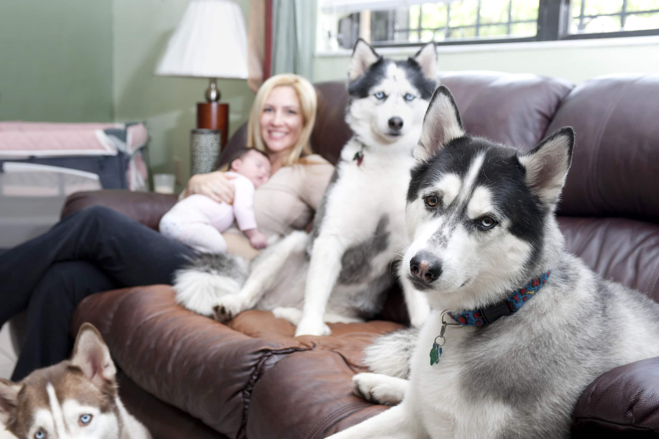 Three Siberian Husky dogs sitting around blonde owner who is holding new baby