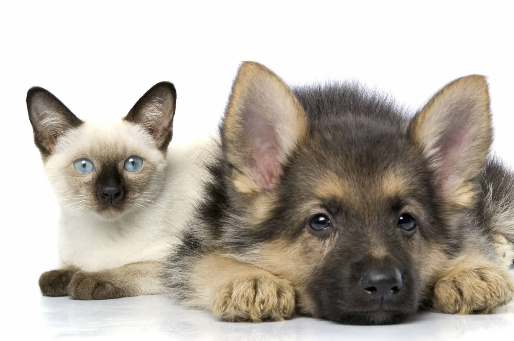 A beige and black siamese kitten and a black and tan german shepard puppy laying down
