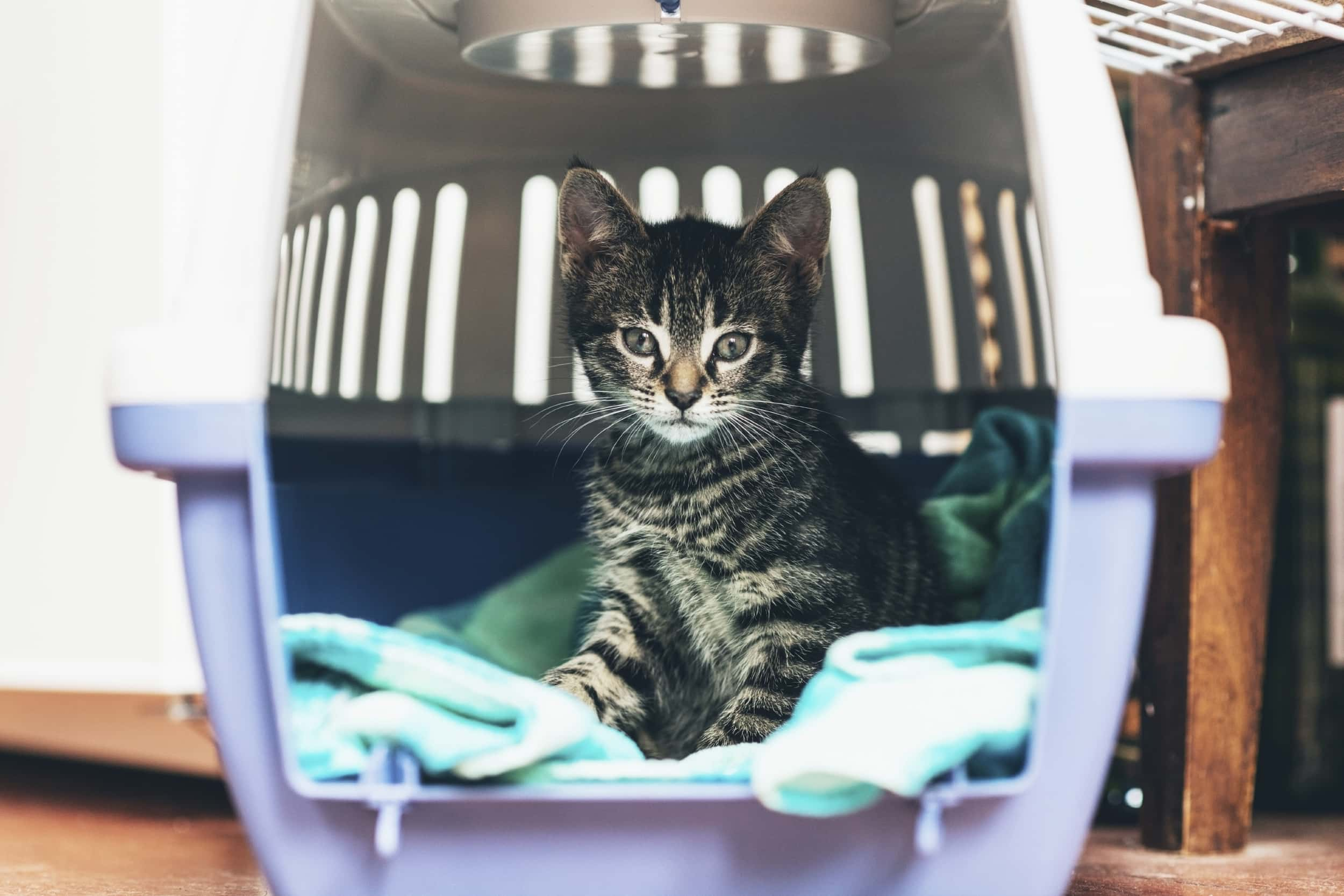 Cute little tabby kitten sitting in a travel crate on a blue blanket staring intently at the camera with big blue eyes