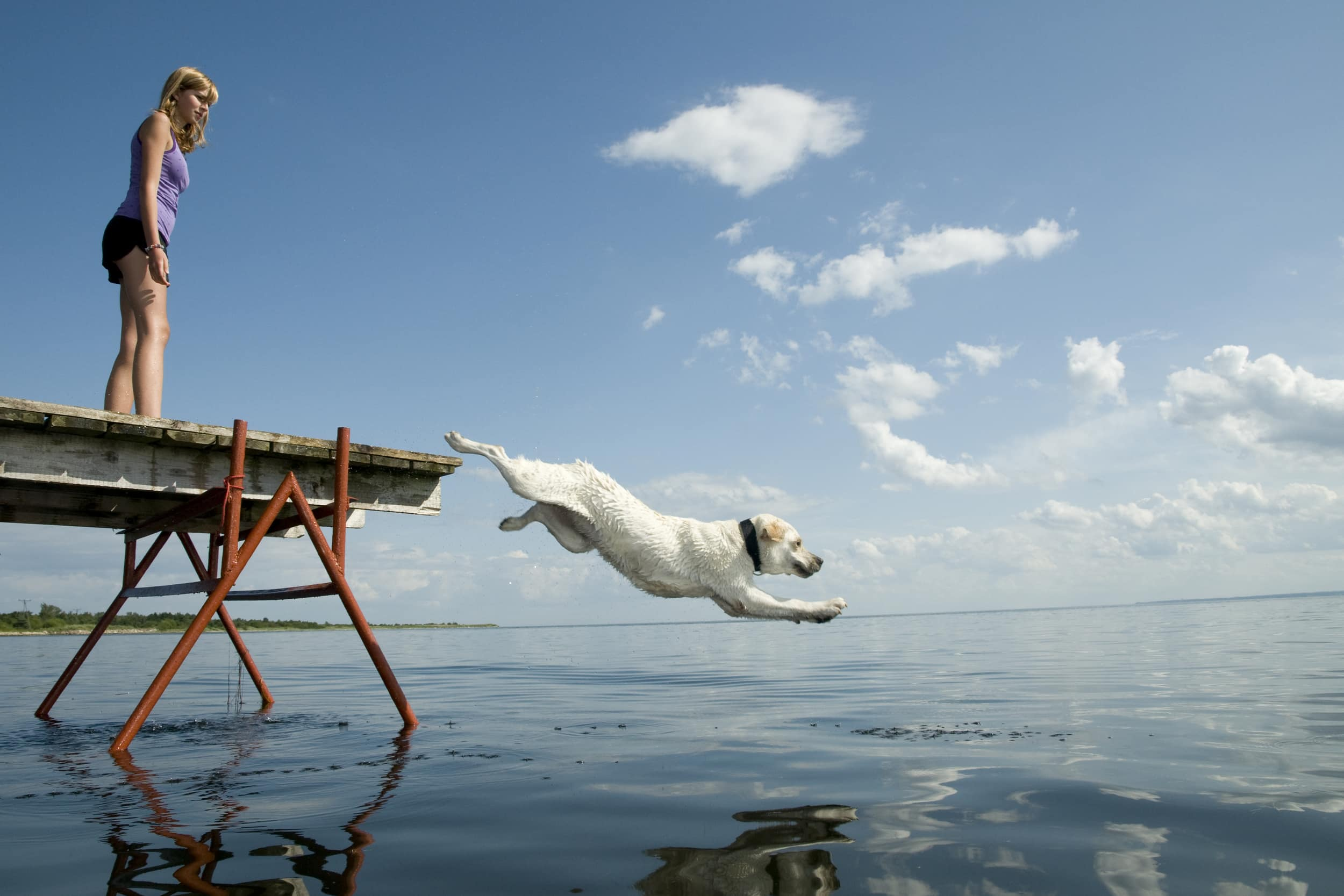 A white labrador jumping off the end of a pier into a lake. On the end of a pier is a girl in shorts and a tank top