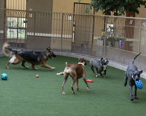 Four dogs having fun chasing each other and playing with a ball. They are in the doggie daycare