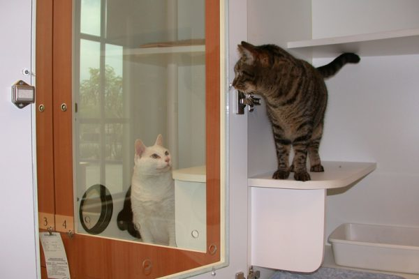 Two cats in kennels looking at each others. The cat on the left is all white and the cat on the right is brown and grey and standing on a little platform