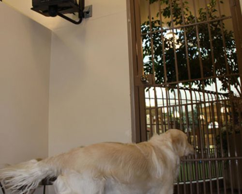 A yellow Labrador looking through a gate on a door in the hospital. In the corner is a television