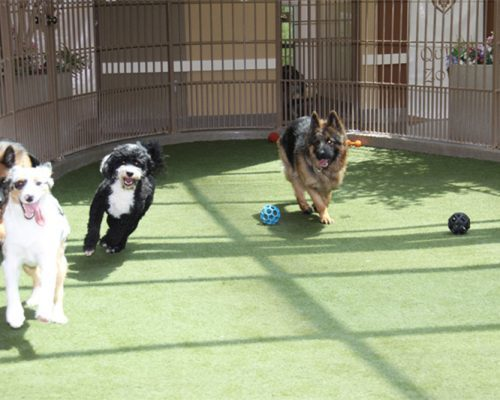 Four dogs having fun and playing in the doggie daycare. The four dogs are of various breeds and running towards the direction of the camera