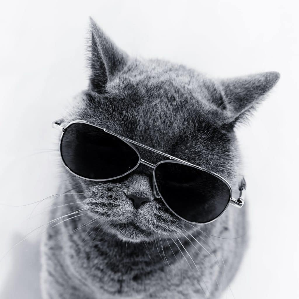 A grey cat wearing aviator sunglasses