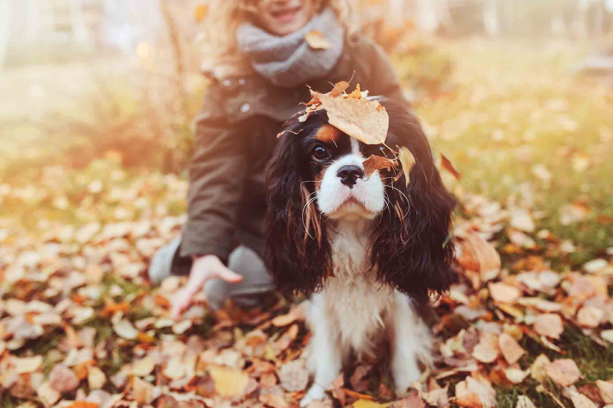 A black and white cavalier king charles spaniel enjoying a fall day with their owner. They are playing in a pile of leaves and the dog has leaves on his head